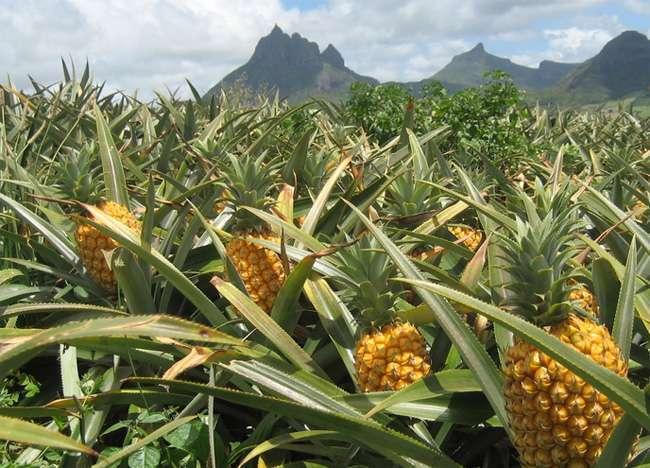 ananaszfold